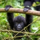 Gorilos, Kenijos parkai ir Zanzibaras II