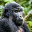Gorilos, Kenijos parkai ir Zanzibaras I